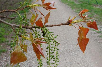 Schwarzpappel populus nigra